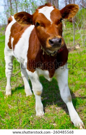a young calf in nature - stock photo