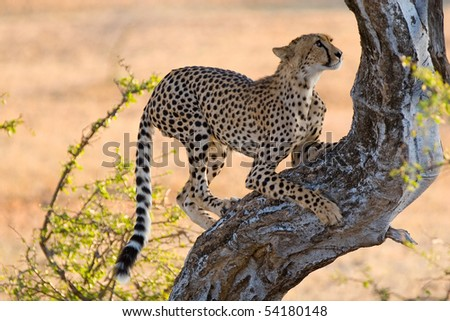 A young cheetah climbing a tree - stock photo