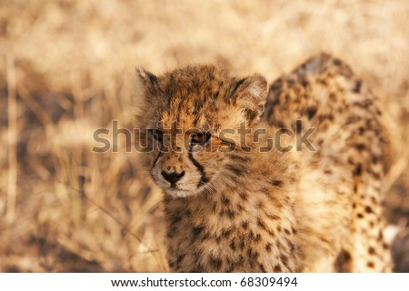 A young cheetah cub looking at the front of our truck while on safari in South Africa. - stock photo