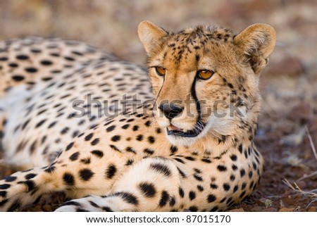 A young cheetah lying on the gravel showing its beautiful amber eyes