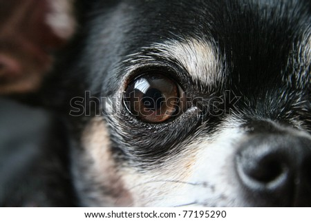 a young chihuahua eye - stock photo