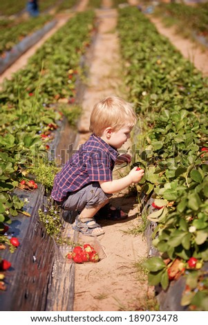 A young child at a strawberry farm picking strawberries outdoors in summer - stock photo