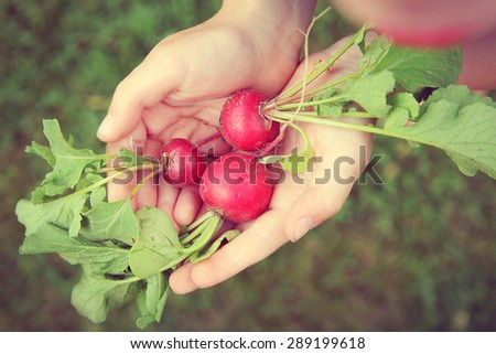 A young child is holding 3 fresh picked raw garden radishes in his hands on a summer day.  Vintage style color filter. - stock photo