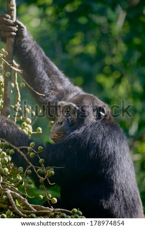 A young chimpanzee (Pan troglodytes) feeds on figs. This chimp is a member of a habituated group in Kibale Forest, Uganda. - stock photo