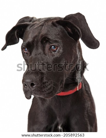 A young chocolate labrador retriever headshot looking off to the side