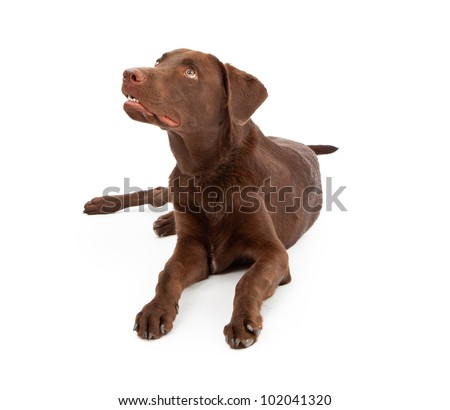A young chocolate Labrador Retriever puppy laying down against a white background and looking up at a treat