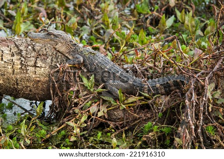 A young Crocodile rest on a log as the bathes in the sun. - stock photo