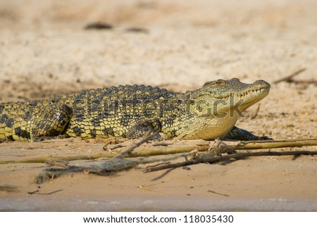 A young crocodile resting in the sand - stock photo