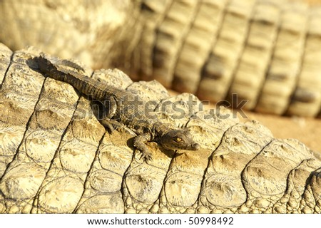 A young crocodile sitting on the back of its mother - stock photo