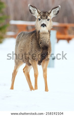 A young deer, less than a year old, in a closed for the season, snow covered campground.  Elkwater, Cypress Hills, Alberta, Canada. - stock photo