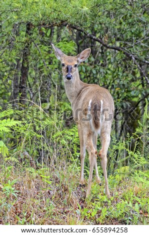 A young deer standing in the woods looking back.