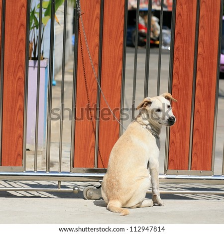 A young dog tied by metal chain on the gate to prevent visitors to be bitten - stock photo