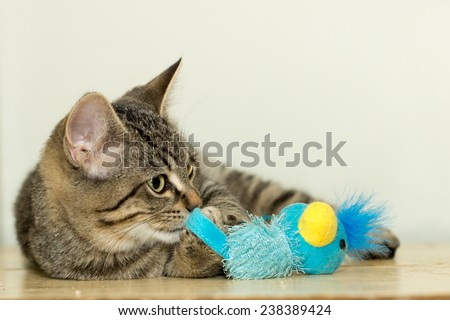 A young domestic house cat plays with a blue toy. - stock photo