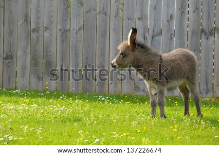 A young donkey foal in lush summer field - stock photo