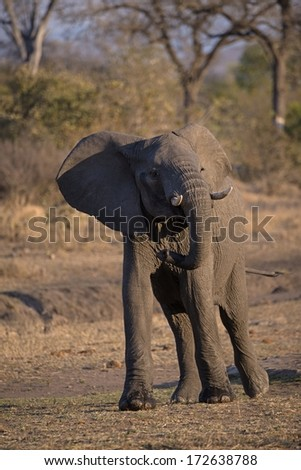 A young Elephant  - stock photo