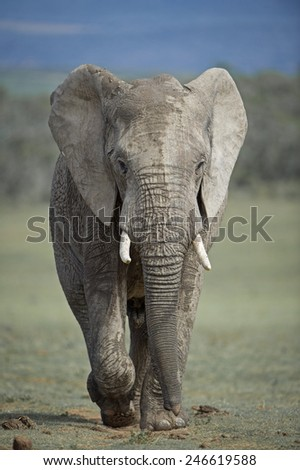A young elephant bull rushes for the water - stock photo