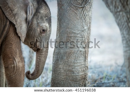 A young Elephant calf in between the legs of an adult Elephant in the Kruger National Park. - stock photo