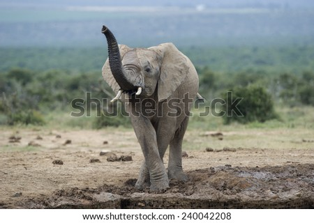 A young elephant gets the scent of the photographer at the waterhole - stock photo