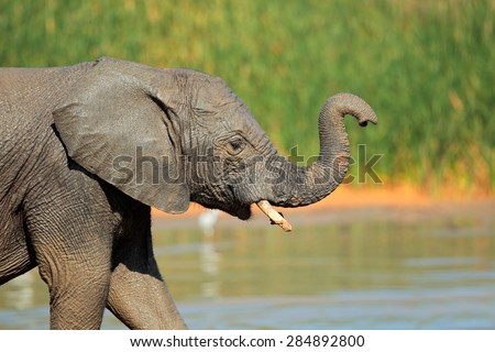 A young elephant (Loxodonta africana) at a waterhole, Addo Elephant National Park, South Africa - stock photo