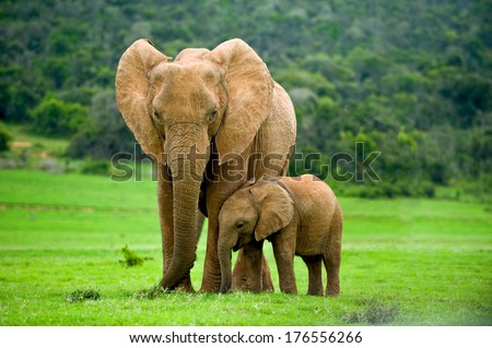 a young elephant right next to an adult one