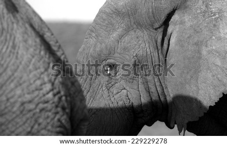 A young elephant stands next to his mother in this beautiful abstarct front on monochrome portrait,taken in Addo elephant national park,eastern cape,south africa - stock photo