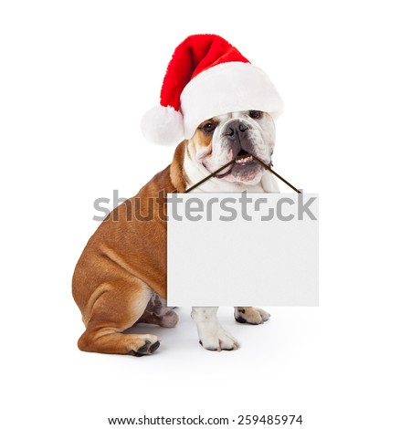 A young English Bulldog sitting against a white background wearing a Christmas Santa Claus hat and holding a blank sign in his mouth - stock photo