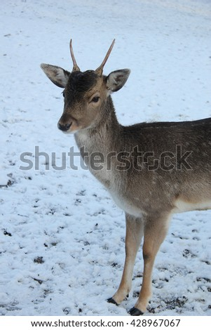 A young female deer in a snowy landscape