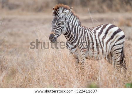 A young furry backlit zebra standing in a grassland