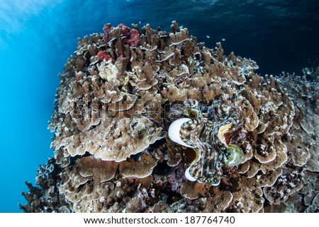 A young giant clam (Tridacna squamosa) grows on a healthy coral reef in Palau's inner lagoon. Like many corals, giant clams are dependent upon sunlight for growth.