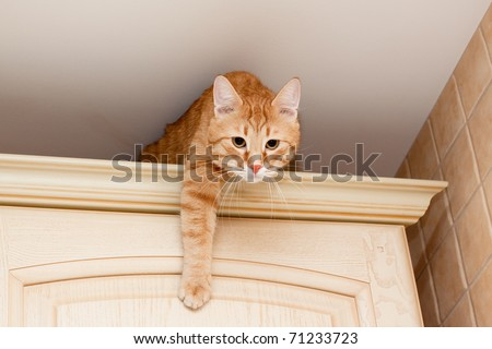 A young ginger tabby cat on kitchen cupboard