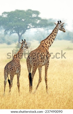 A young giraffe and his mother (Giraffa camelopardalis) walking into savannah in Serengeti National Park, Tanzania - stock photo