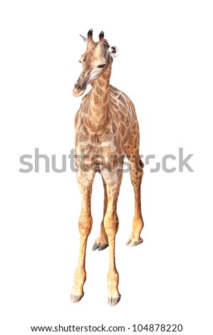 A Young Giraffe Isolated on White Background - stock photo