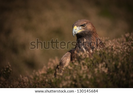 A young Golden Eagle has failed to catch the grouse it was chasing, the eagle is now looking for it in the heather of the grouse moor. - stock photo