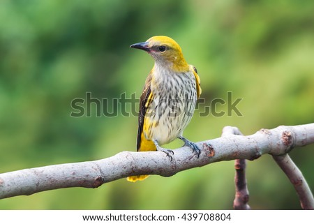 A young golden oriole at a fig tree looking for fruit to eat