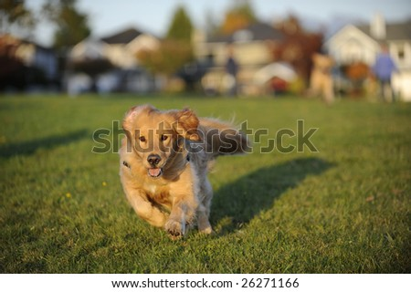 A young Golden Retriever runs towards the position of the camera in a field of green grass. There are autumn colors in the background.