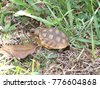 a young gopher tortoise slowly...