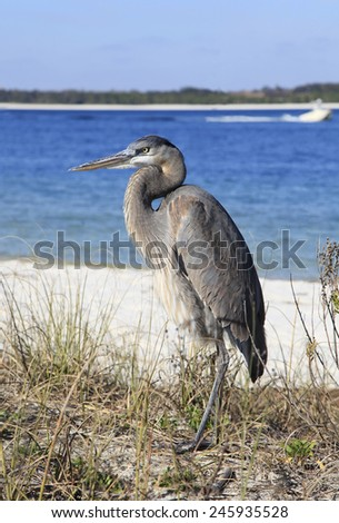 A Young Great Blue Heron Standing in the Reeds at the Water's Edge - stock photo