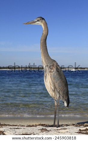 A Young Great Blue Heron Stands on the Shore of The Bay - stock photo