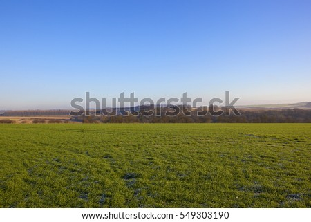 a young green winter wheat crop with golden brown scenery in the yorkshire wolds under a clear blue sky