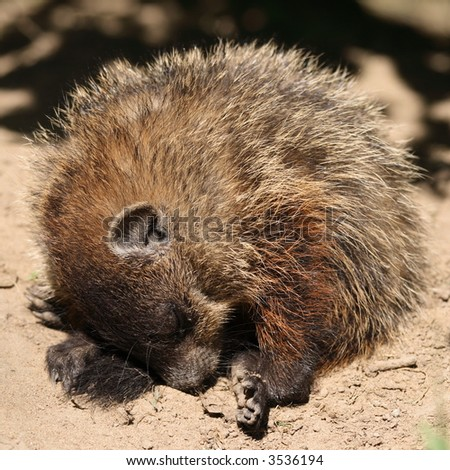 A young groundhog having a nap. Canada.