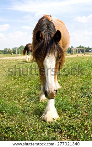 A young Gypsy Vanner horse  - stock photo