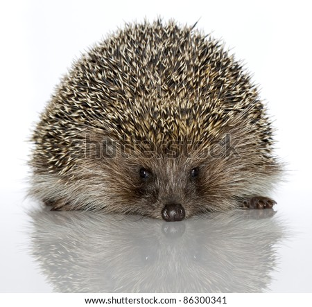 A young hedgehog, about a year. In  front of white background - stock photo