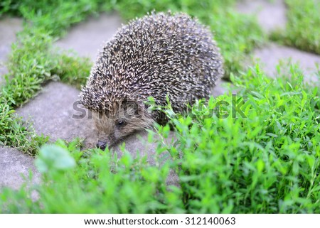 A Young hedgehog in a natural habitat