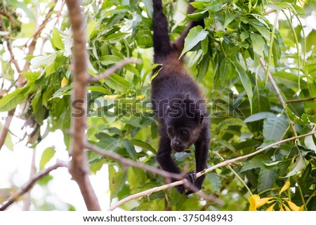 A young howler monkey hanging by his tail in a tree foraging for food