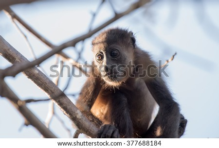 A young howler monkey sitting in a tree with the sun shining on him