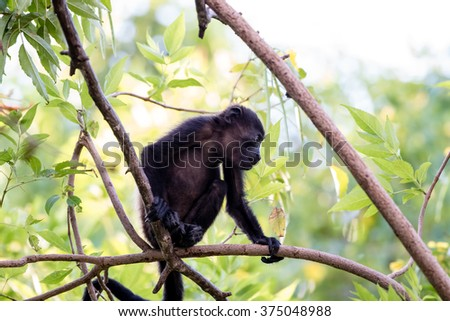 A young howler monkey sitting on a branch in a tree looking at other monkeys below - stock photo
