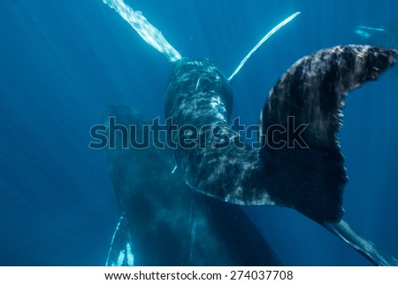 A young Humpback whale (Megaptera novaeangliae) frolics above its mother in the Atlantic Ocean. This species of baleen whale migrates to the warm waters of the Caribbean to breed and give birth. - stock photo