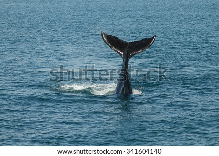A young Humpback whale (Megaptera novaeangliae) waves its tail fluke out of the Atlantic Ocean. This endangered species migrates from to the Caribbean each winter to breed or give birth. - stock photo