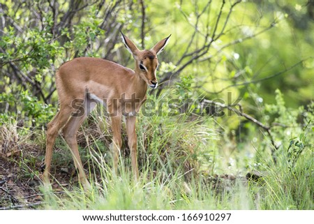 A young Impala amongst green bushes