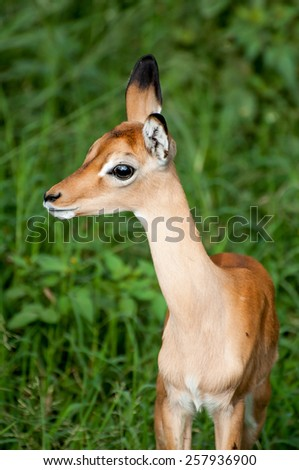 A young impala calf stands in the lush green grass, while observing nervously. - stock photo